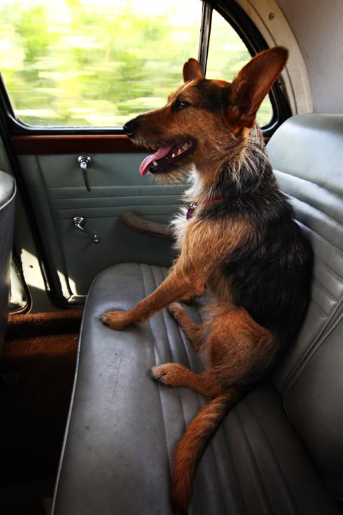 cooler hund auto